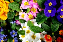 Primrose Royalty Free Stock Image
