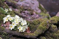 primrose Στοκ Φωτογραφία
