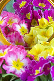Primrose. Colored primrose on  the mirror Royalty Free Stock Photos