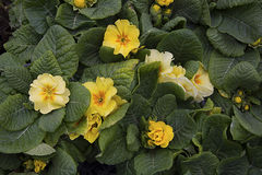 primrose Royaltyfria Bilder