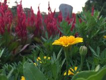 Primrose. Also known as Celosia, usually used to embellish the turf stock photos