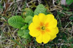 Primrose amarelo e alaranjado (primula) Imagens de Stock Royalty Free