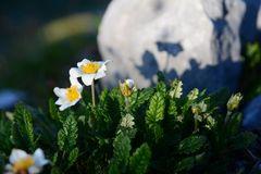 Primrose auricula growing next to stone, late afternoon. Purple bells rise from the stone, surrounded by rock Summer time, late June, early July. Mountain peak royalty free stock photography
