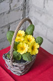 Primrose in a basket Stock Images