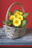 Primrose in a basket Stock Image