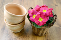 Primrose in basket with flowerpots Royalty Free Stock Images