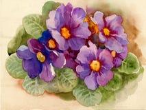 Primrose. Beautiful wild flowers, watercolor stock illustration