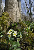Primrose in Beech woodland Royalty Free Stock Images
