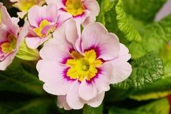 Primrose bloom Royalty Free Stock Images