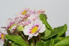 Primrose bloom Royalty Free Stock Photo