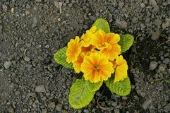 Primrose bloom Stock Image