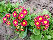 Primrose blooming . A lot of primroses blooming in the garden royalty free stock photos