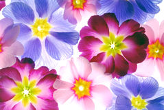 Primrose Blossoms Background Royalty Free Stock Photo