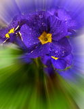 Primrose in blur Stock Photo