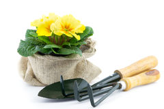 Primrose in burlap sack and garden utensils