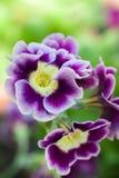 Primrose Stock Images