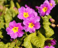 Primrose close-up purple flower nature sunlight green leaf. Primrose close-up purple flower nature garden sunlight summer green color beautiful Royalty Free Stock Image
