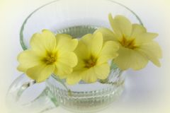 Primrose in a coffee cup Stock Photo