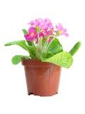 Primrose cor-de-rosa isolado Imagens de Stock Royalty Free