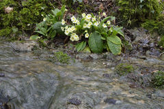 Primrose by Cotswold Woodland Stream Royalty Free Stock Photography