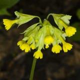 Primrose cowslip, Primula veris, flowers on bokeh background, macro, shallow DOF, selective focus Stock Image
