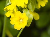 Primrose cowslip, Primula veris, flowers on bokeh background, macro, shallow DOF, selective focus Royalty Free Stock Photo
