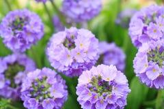 Primrose da flor da flor do jardim Imagem de Stock Royalty Free