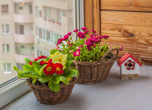 Primrose and daisies growing in baskets on window Stock Photo