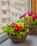 Primrose and daisies growing in baskets on window Stock Photography