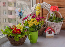 Primrose and daisies growing in baskets on window Royalty Free Stock Photo