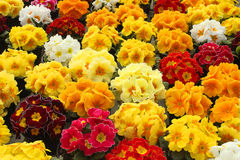 Primrose of different colors. A garden with primroses of different colors Royalty Free Stock Image