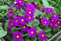 Primrose. First spring flowers. Small bush of lilac primrose Royalty Free Stock Images