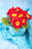 Primrose in the floral pot Royalty Free Stock Photos