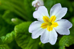 Primrose flower Stock Photography