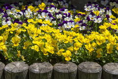 Primrose flower bed Stock Image
