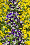 Primrose flower bed Stock Photo