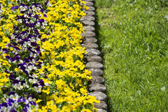 Primrose flower bed Royalty Free Stock Image
