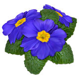 Primrose flower Royalty Free Stock Photos