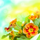 Primrose flower bouquet. Floral background Royalty Free Stock Photo