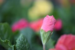 Springtime flower of a pink color primrose in bud with a colorful natural garden blur background. A primrose flower in bud with colors of green pink and yellow Royalty Free Stock Images