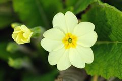 Primrose flower and bud (primula vulgaris). Pale yellow Primrose (primula vulgaris) is one of the first flowers to blossom in spring -- hence the name. The open royalty free stock photos