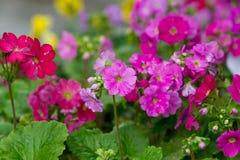 Primrose flower closeup Stock Photo