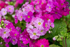 Primrose flower closeup Royalty Free Stock Images