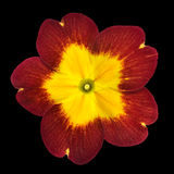 Primrose Flower Isolated - Red with Yellow Center Stock Photography