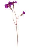 Primrose flower Stock Images