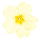 Primrose Flower Stock Photos