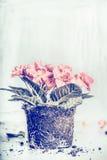 Primrose flower planting on light rustic background Royalty Free Stock Photo