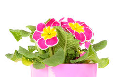 Primrose in flower pot. Isolated on white stock photography