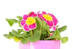Primrose in flower pot Stock Photography