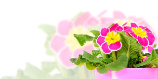 Primrose in flower pot. Isolated on white stock images